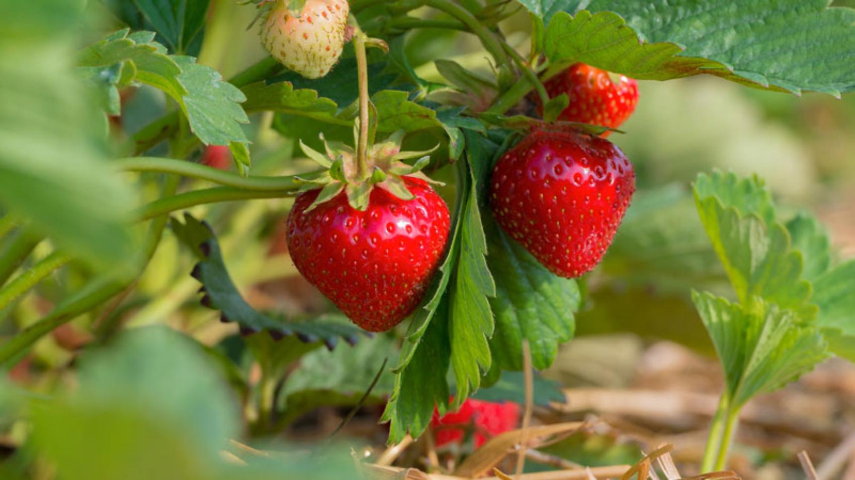 SPC-1817-Strawberries-800x450
